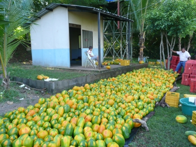 A large quantity of papaya fruit
